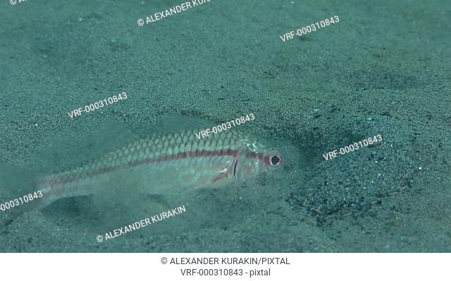 Sea fish Red mullet (Mullus barbatus) digs sand in search of food, close-up