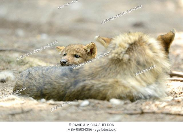 Eurasian wolves, Canis lupus lupus, side view, lying, looking at camera