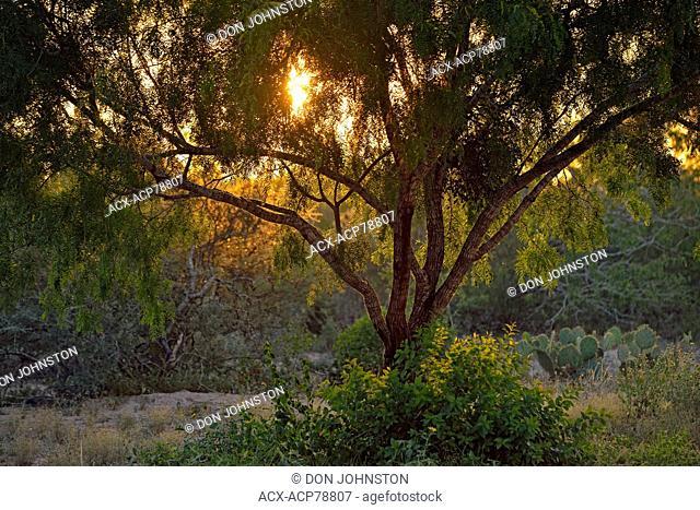 Mesquite trees, Rio Grande City, Texas, USA