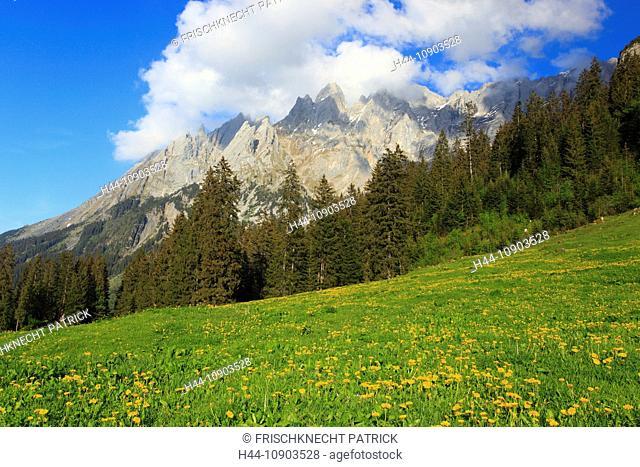 Evening, Alp, alps, flora, mountain, mountains, mountain flora, mountain spring, mountain massif, Bern, Bernese Oberland, flowers, Dandelion, Engelhörner