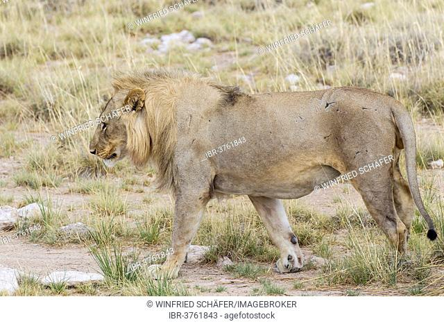 Lion (Panthera leo), male, Etosha National Park, Halali, Kunene Region, Namibia
