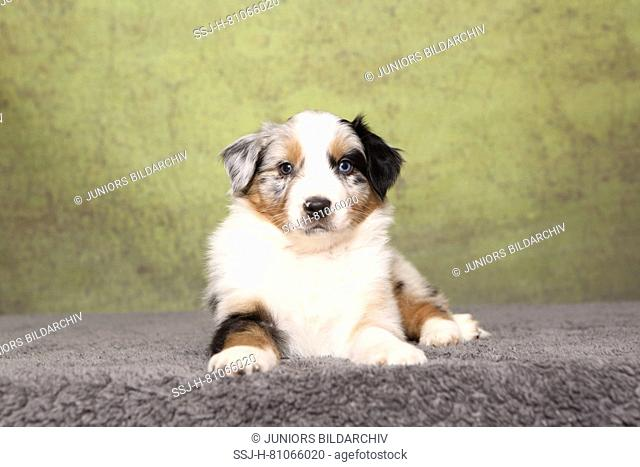 Australian Shepherd. Puppy (6 weeks old) lying on a rug. Studio picture against a green background. Germany