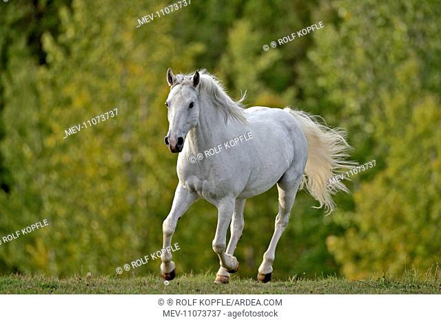 Horse Missouri Foxtrotter mare cantering in meadow in autumn