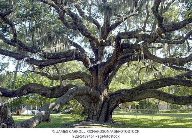 Live oak tree in Safety Harbor near Tampa Florida