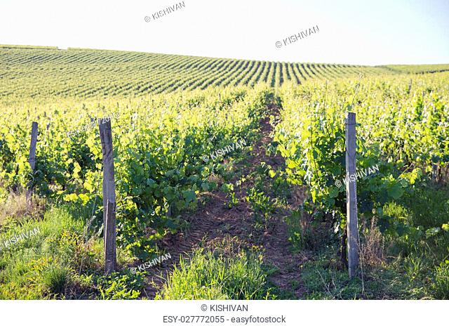 Chianti vineyard landscape in Tuscany, Italy, farm