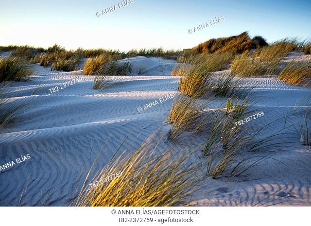 dunes with Ammophila arenaria plants Barron, Doñana, Huelva, Andalucia, Spain, National Park. Europe