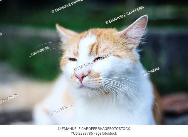 Portrait of cat. Italy