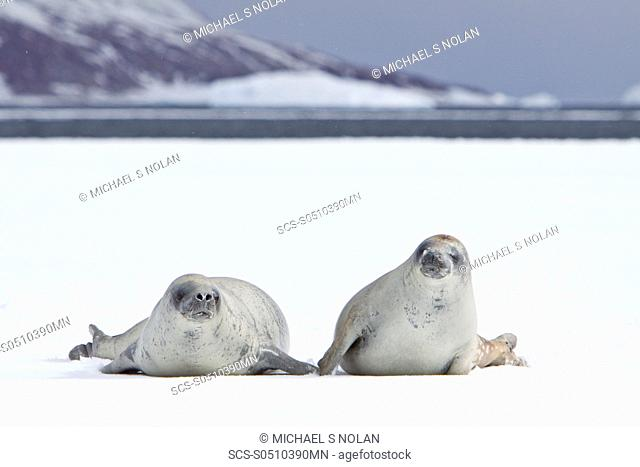 Crabeater seals Lobodon carcinophaga swimming along or hauled out on fast ice floe in Bourgeois Fjord 67840'S 6785'W near the Antarctic Peninsula The Crabeater...