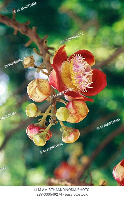 Nagalinga flower couroupita guianensis hanging on branch