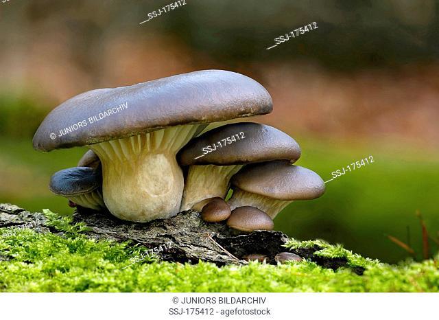 Oyster Mushroom (Pleurotus ostreatus). Fruit bodies on moss-covered tree trunk