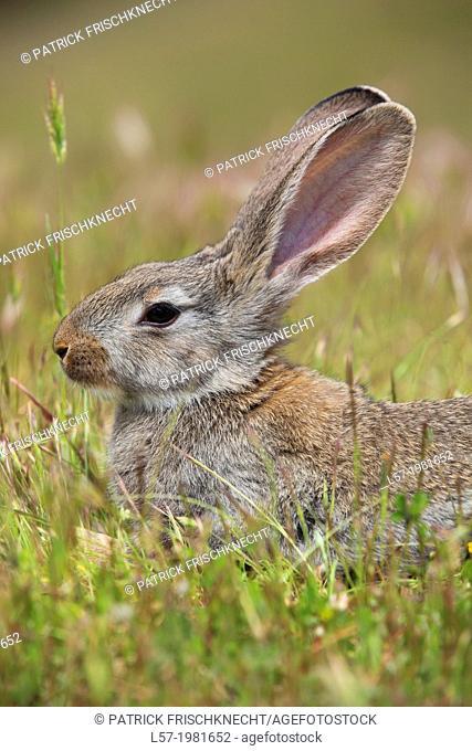 Rabbit, Oryctolagus cuniculus, Spanien
