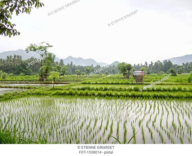 View of rice paddy against clear sky