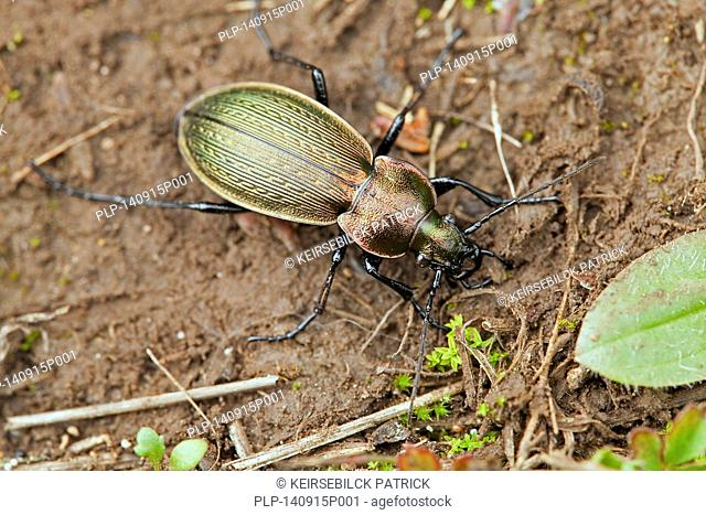 Golden ground beetle (Carabus auratus)