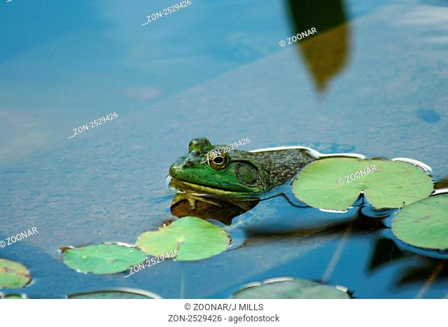 A Green bullfrog in a pond