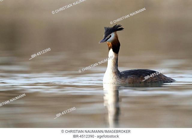 Great crested grebe (Podiceps cristatus) in the lake, Baden-Württemberg, Germany