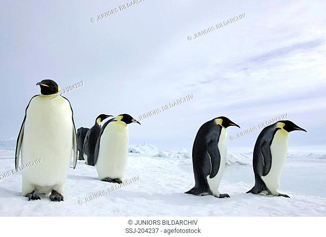 Emperor Penguin (Aptenodytes forsteri). Adults standing on ice. Snow Hill Island, Antarctica