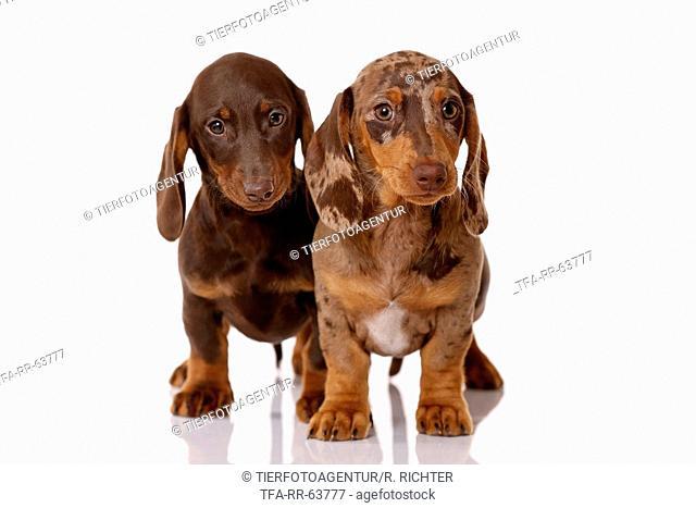 2 Dachshund Puppies