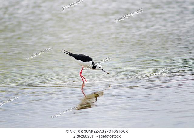 Pied stilt (Himantopus himantopus leucocephalus) catching a tunnelling mud crab (Austrohelice crassa). Hoopers Inlet. Otago Peninsula. Otago