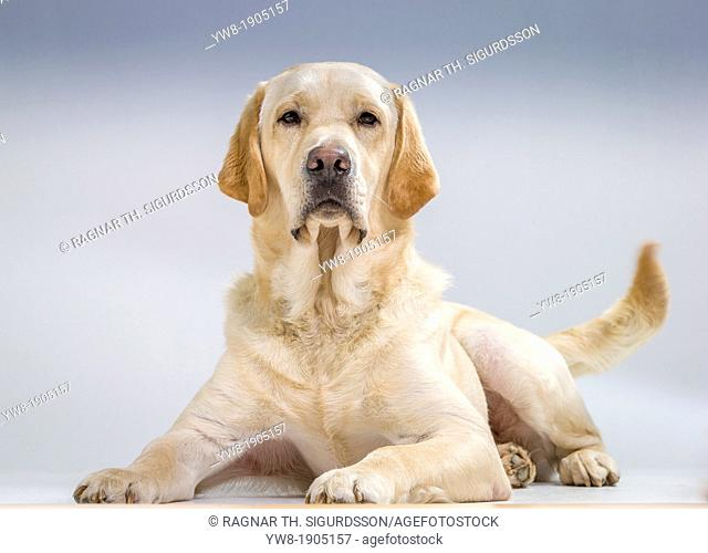 Portrait of Yellow Labrador Retriever lying down Male guide dog for the blind