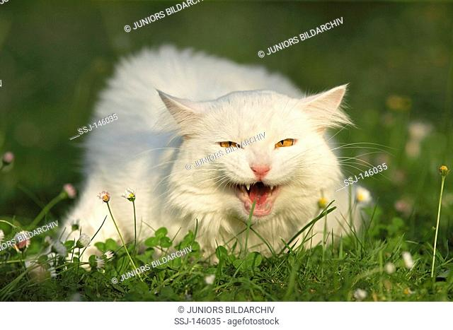 Maine Coon on meadow - hissing restrictions: Tierratgeber-Bücher / animal guidebooks