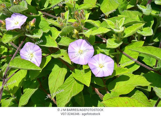 Correguelon de monte (Convolvulus canariensis) is a vine endemic to Canary Island except Fuerteventura and Lanzarote. Flowering plant