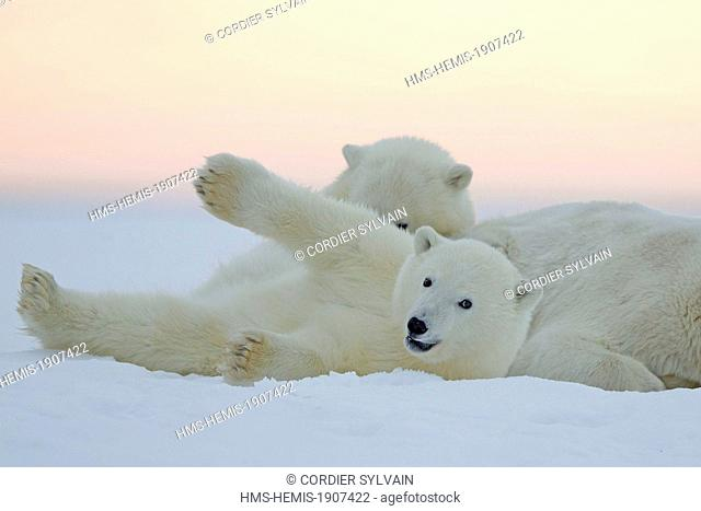 United States, Alaska, Arctic National Wildlife Refuge, Kaktovik, Polar Bear (Ursus maritimus), female adult with 2 cubs from the year