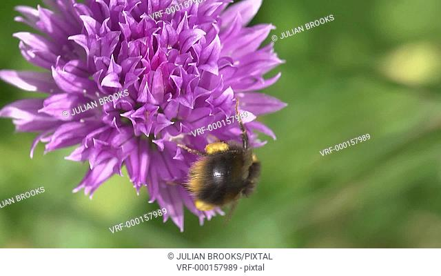 Bumble Bee visiting chive flower