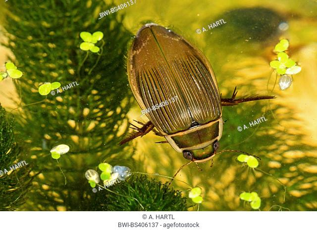 Great diving beetle (Dytiscus marginalis), female takes a breath at water surface, Germany, Bavaria