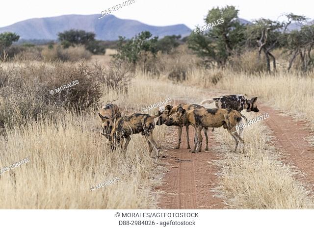 Africa, Southern Africa, South African Republic, Kalahari Desert, African wild dog or African hunting dog or African painted dog (Lycaon pictus), adults