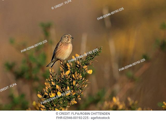 Eurasian Linnet (Linaria cannabina) adult female, perched on flowering gorse, Suffolk, England, April