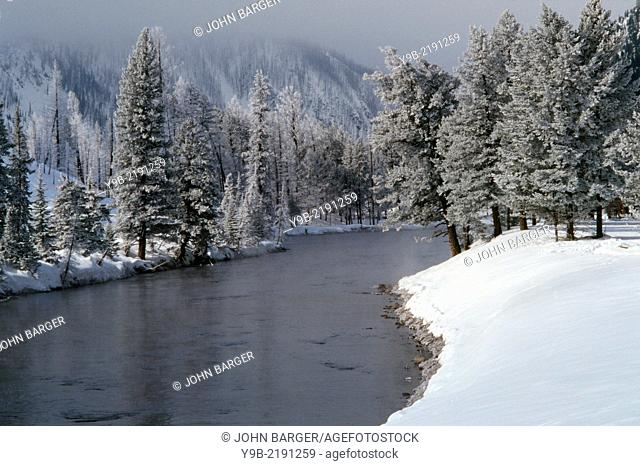 Frosted lodgepole pines and snow on banks of Madison River in winter, Yellowstone National Park, Wyoming, USA
