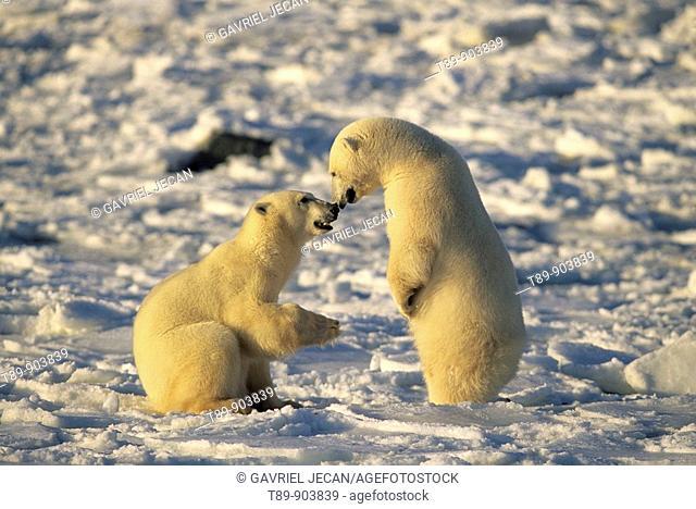 Polar Bears Ursus maritimus Canada