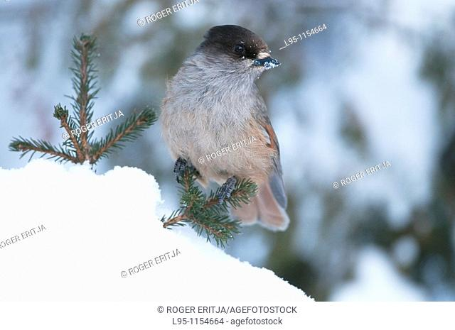 Siberian jay Perisoreus infaustus, Kuusamo, Finland