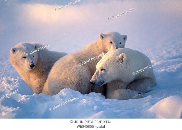 Ursus maritimus. Polar bear with cubs. Churchill. Canada