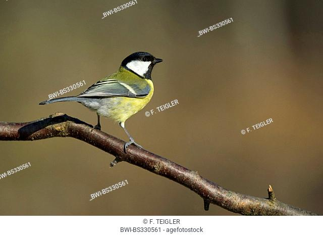 great tit (Parus major), sitting on a branch, Germany
