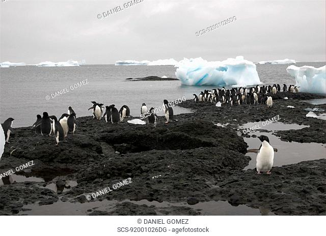 Adelie penguins Pygoscelis adeliae resting on the shores just next to their colony, Brown Bluff, Antarctic Peninsula RR