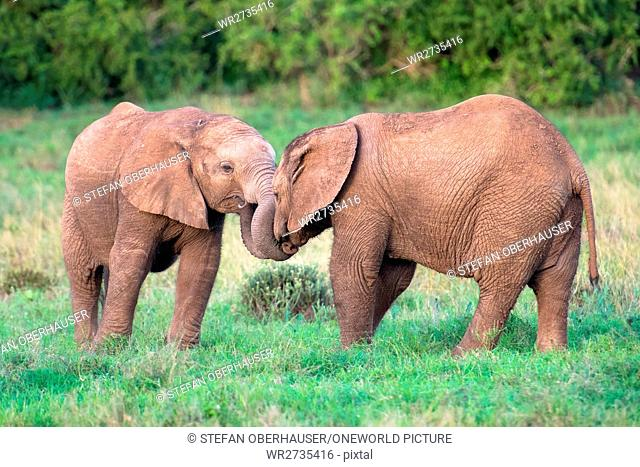 South Africa, Eastern Cape, Western District, Addo Elephant National Park, Two young elephants touching each other