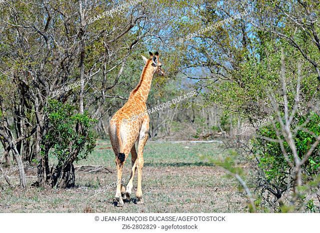 South African giraffe or Cape giraffe (Giraffa giraffa giraffa), young, heading for a clearing, Kruger National Park, South Africa, Africa