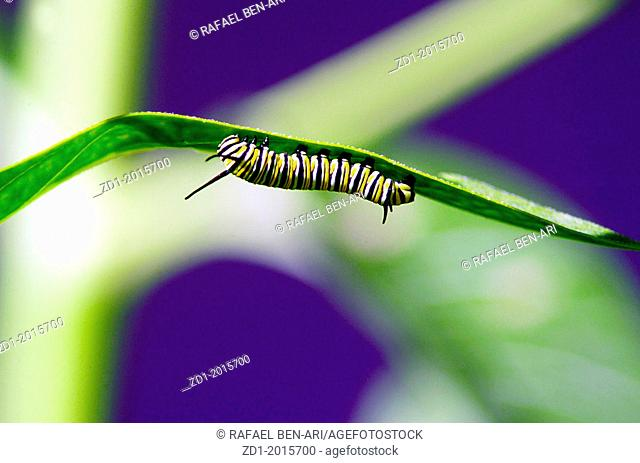 Monarch Butterfly caterpillar on a green leaf