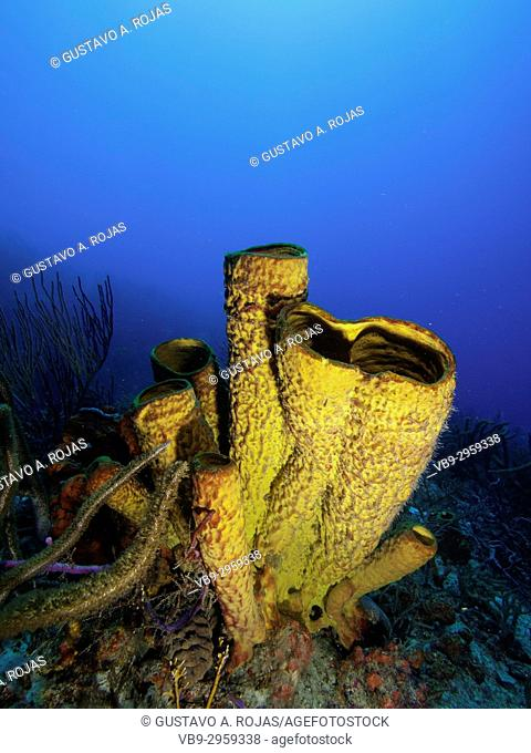 Yellow Tube Sponge -Aplysina fistularis-Metazoa -Los Roques. Venezuela