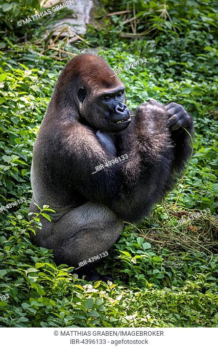 Western lowland gorilla (Gorilla gorilla gorilla), male feeding, silverback, captive, Primate Sanctuary, Limbe, Southwest Region, Cameroon