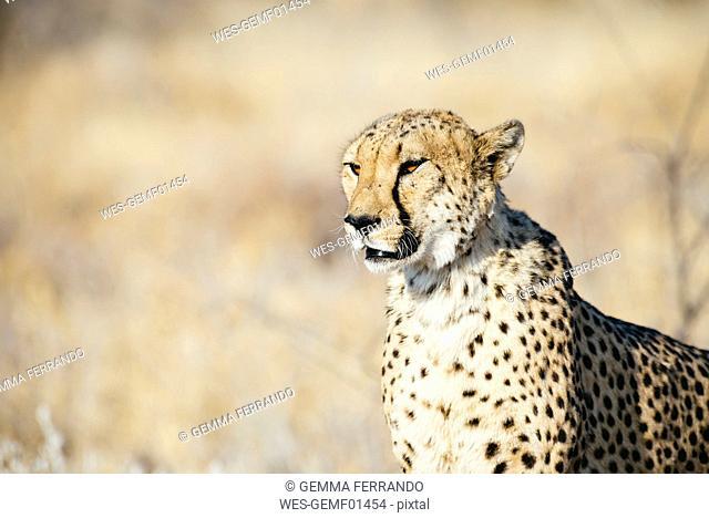 Namibia, Kamanjab, portrait of cheetah in the savannah