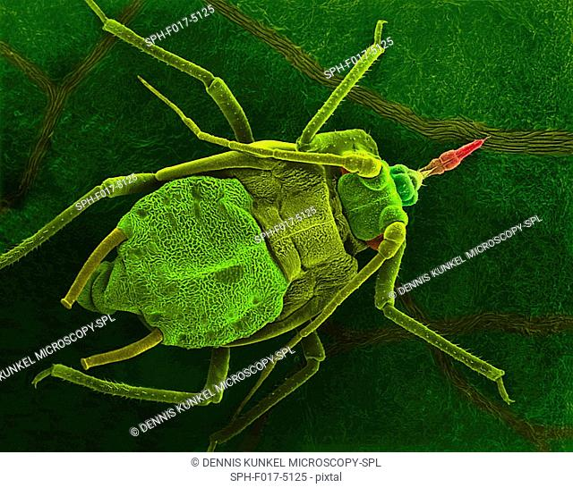 Coloured scanning electron micrograph (SEM) of Pea aphid (Acyrthosiphon pisum) on a bean leaf with proboscis penetrating a vein