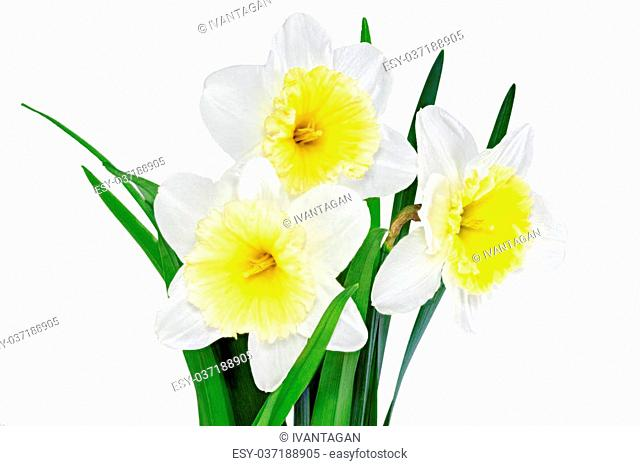 Beautiful spring flowers: yellow-white narcissus (Daffodil). Isolated over white