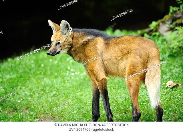 Close-up of a maned wolf (Chrysocyon brachyurus) on a meadow