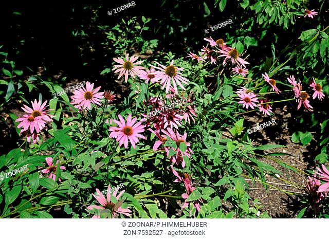 Echinacea tennesseensis, Tennessee-Scheinsonnenhut, Tennessee coneflower
