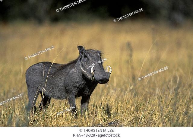 Warthog, Phacochoerus africanus, Chobe National Park, Savuti, Botswana, Africa