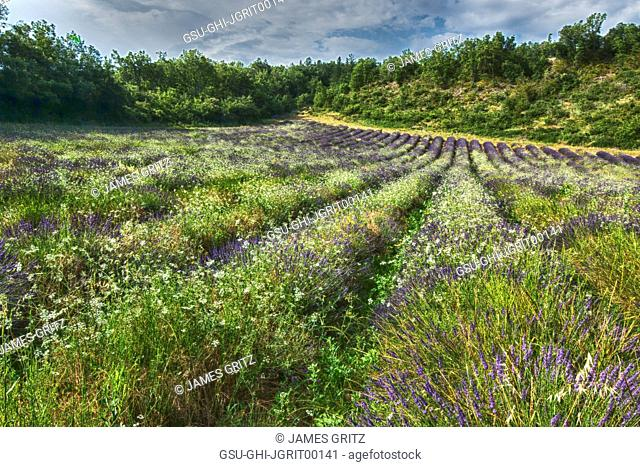 Lavender Field in Summer, France