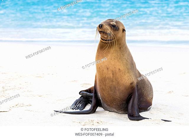 Ecuador, Galapagos Islands, Espanola, Gardner Bay, sea lion on sandy beach at seafront