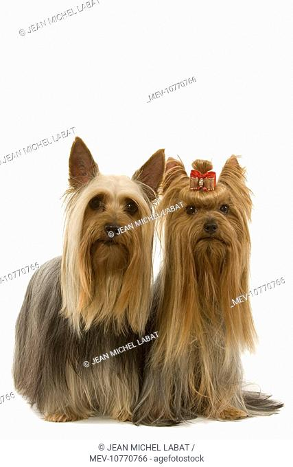 Dog - Australian Silky Terrier with Yorkshire Terrier. Also known as Silky Terrier or Sydney Silky